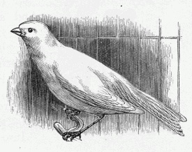 canary_in_cage